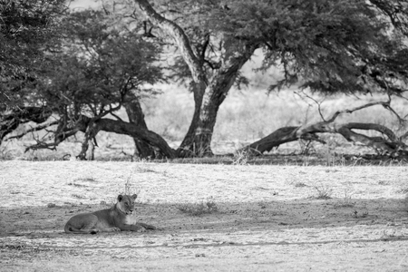 A lioness lying in the riverbed with a large camelthorn tree in the background. She is observing any movements that might be prey. In black and white, monochrome.