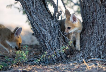 Two cute baby Cape foxes exploring around a camelthorn tree in the Kgalagadi desert. Stock Photo