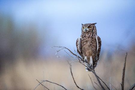 Osservato Eagle Owl seduto appollaiato su un ramo di un albero come sta scintillando dopo il tramonto. Mentre sono notturni, probabilmente si prepara a caccia.