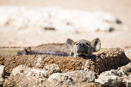 A Spotted Hyena sleeping and cooling off on a hot day in the drinking water Stock Photo