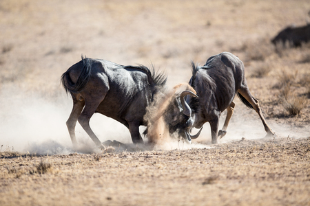 Two Blue Wildebeest locking horns in a vicious battle for dominance. Dust and sand everywhere.