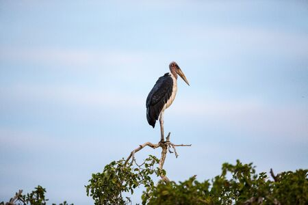A large Marabou Stork standing on a green tree top, looking to the side.
