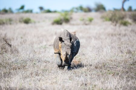 A white Rhino walking straight forward over the dry savannah.