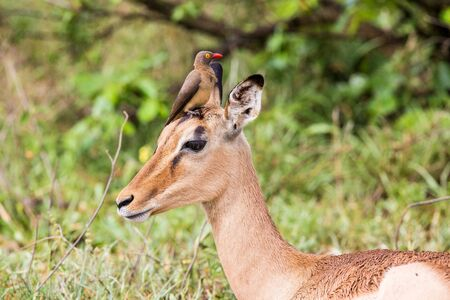 An Impala lying on the ground with a Red-billed Oxpecker sitting between it's ears.