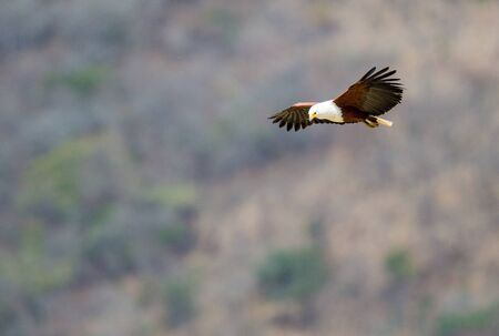 A Fish Eagle, flying or hovering in the air. It is looking down, possibly for something to catch. Stockfoto