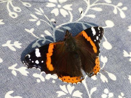 vanessa: Vanessa Atalanta butterfly