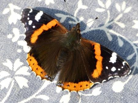 vanessa: Vanessa Atalanta butterfly - Red Admiral