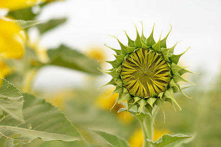 energize: Green sunflower in the garden Stock Photo