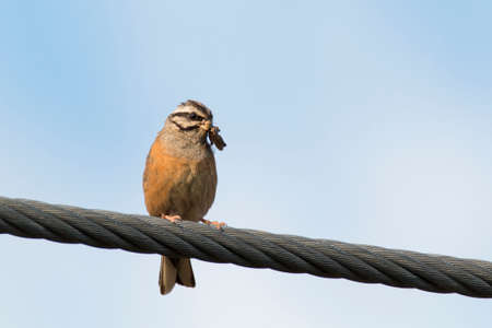 Rock bunting (Emberiza cia) perched on a light cable with grasshopper in its bill. Orange bird with its prey