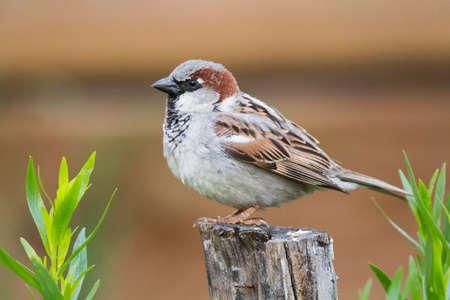 Male house sparrow (Passer domesticus) over wooden log in a house garden Standard-Bild