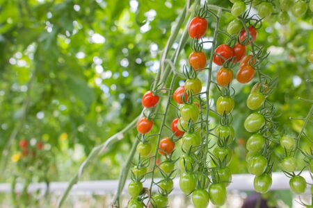 fresh and healthy organic hydrophonic cherry tomatoes in grasshouse farm