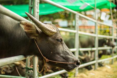 Peaceful buffalo rest in the farm Stok Fotoğraf