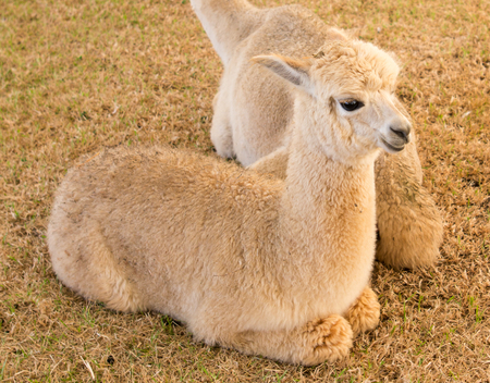 alpaca sti, rest and relax in the peaceful farm Stock Photo