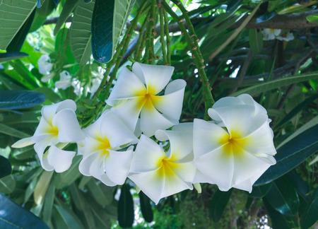 A bunch of beautiful Frangipani hanging down the tree