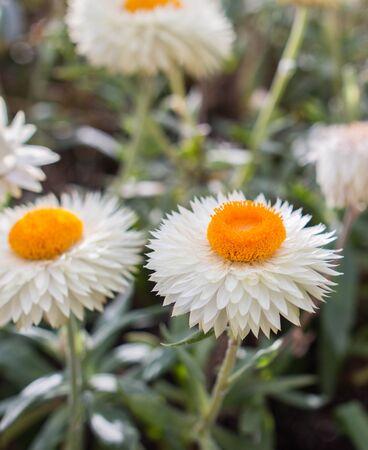 fresh helichrysum flower on a sunny day Stok Fotoğraf
