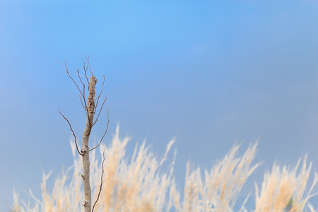 Dead tree on the blurred background pampas grass Stock Photo