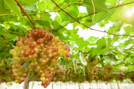 Bunches of white wine grape on vineyard