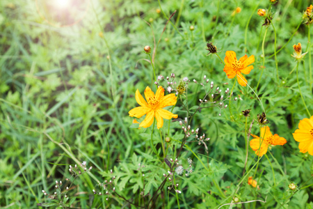 Sulfur Cosmos or Yellow Cosmos in a beautiful day with blurred background.