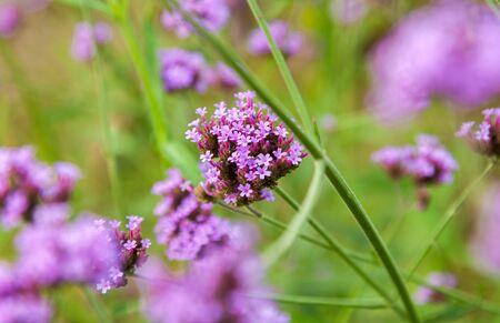 Violet flowers field is beautiful (VERBENA BONARIENSIS)