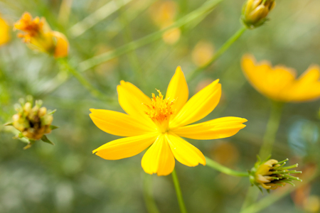 Sulfur Cosmos,Yellow Cosmos,Yellow Star or Yellow Flower Stock Photo
