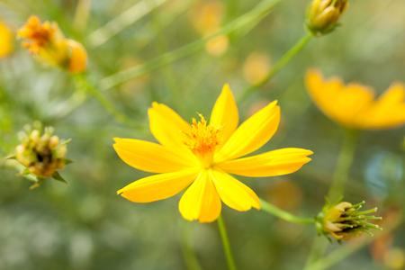 Sulfur Cosmos,Yellow Cosmos,Yellow Star or Yellow Flower Banco de Imagens