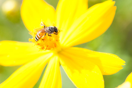 Sulfur Cosmos,Yellow Cosmos,Yellow Star or Yellow Flower Stock Photo