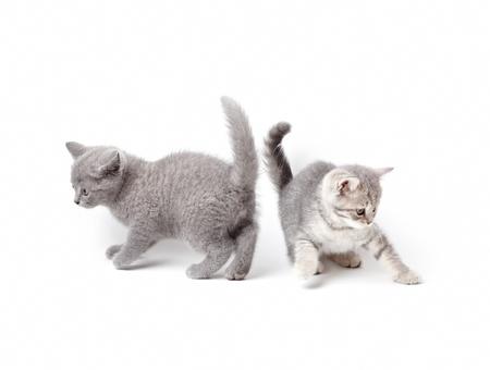 correr: Dos gatitos británicos jugando. En el fondo blanco