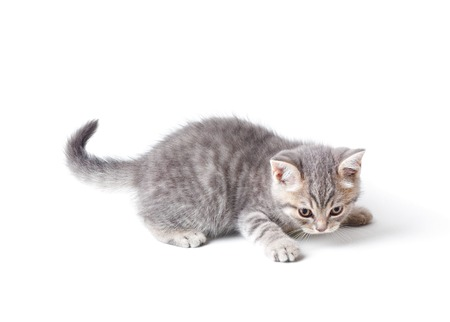 white cats: Marmoreal british kitten isolated on white background