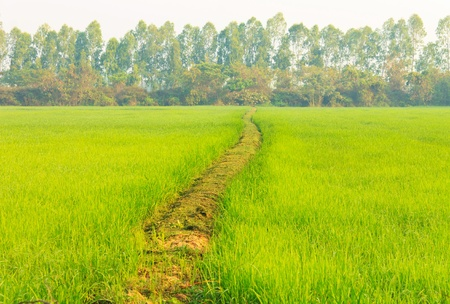 The walk on the green fields of rice growing. The field as the pinewood and the sky. photo