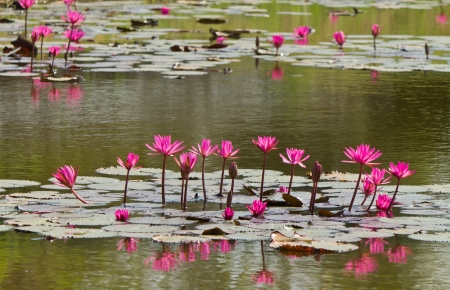 Pink lotus in lake on sunshine day Stock Photo - 18066270