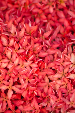 stamin: Macro of Pink Ixora or West Indian Jasmine Flower