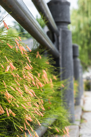 plantaginaceae: russelia equisetiformis or firecracker plant flower on fence