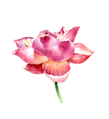 watercolor painting of lotus on white background Stock Photo - 56953859