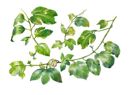 Aquarellmalerei der grünen Blättern auf weißem Hintergrund Standard-Bild