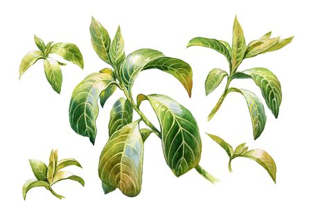 vitality: watercolor painting of leaves on white background