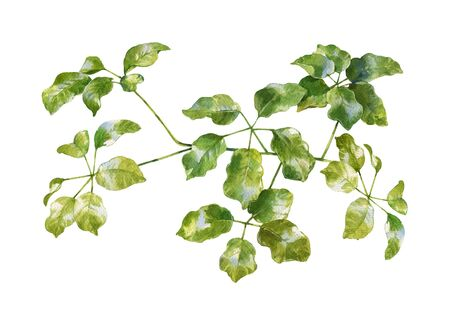 watercolor painting of green leaves on white background Stock Photo