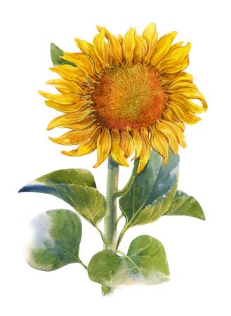 ひまわり、白い背景の上の黄色、花の水彩イラスト絵画 写真素材 - 63022767