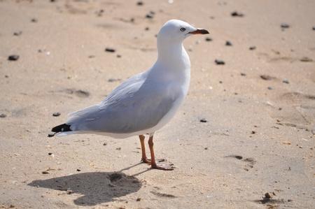 white seagull bird on the beach photo
