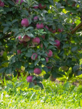 Apple Trees ready for picking in an orchard Stock Photo