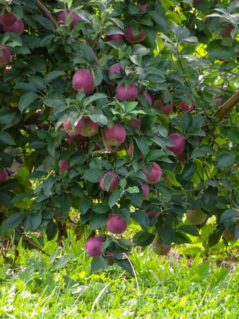 Loaded Apple Tree in Marion New York