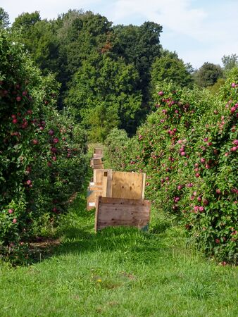 Apple Crates in Apple Orchard Stock Photo