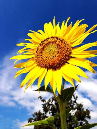stockpile: Sunflower on a farmer field against the blue sky Stock Photo