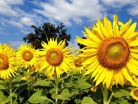 helianthus annuus: Sunflower against blue sky