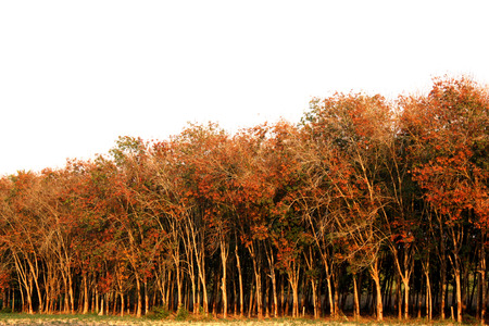 rubber plantation, south of thailand photo