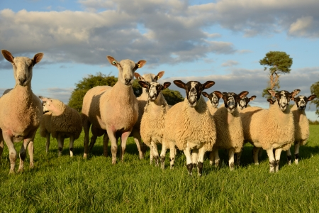 faced: Small group of sheep staring very curiously at the camera