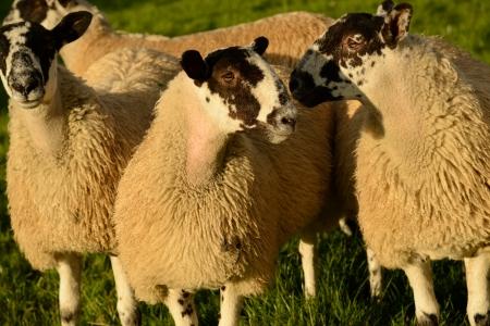 頭発生と思える 2 つの羊が議論される何かを互いに傾いて、オプション最大重量と 2 つの羊のショット