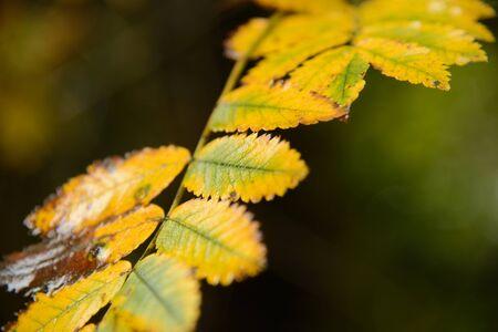 ash tree: Ash ramo di un albero in autunno con le foglie gialle