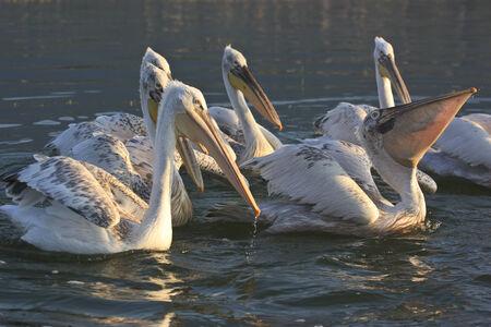 kerkini: Dalmatian Pelicans of Lake Kerkini Greece Stock Photo