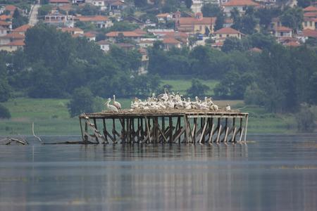 kerkini: Dalmatian Pelican nesting on Lake Kerkini