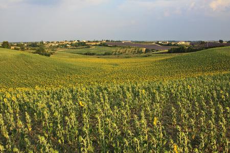 Valensole - Provence photo